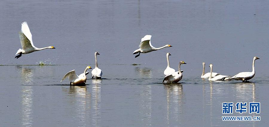 国家二级保护动物白琵鹭