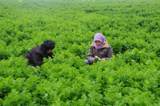 西吉县硝河乡马昌村农民正在铲芹菜