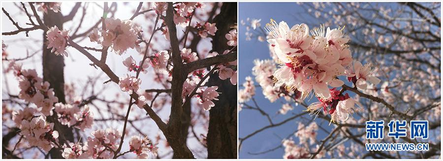 杏树剪枝技术步骤图解