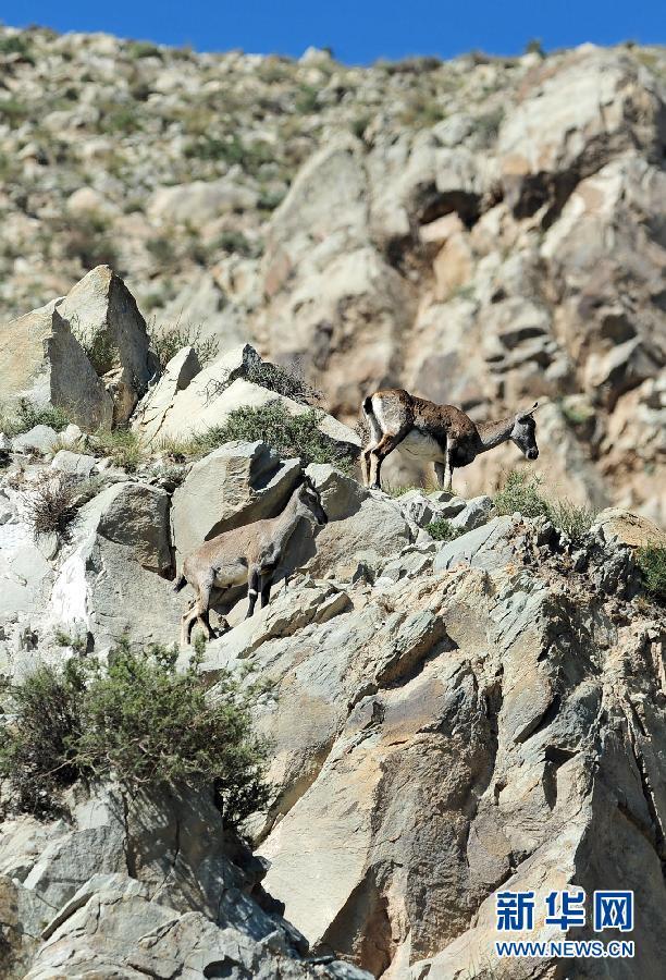 (地球绿飘带·走进宁夏)(4)野生保护动物种群快速