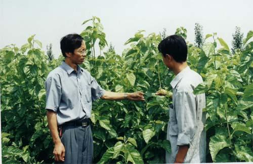 看耐旱作物桑树的成长情况