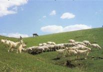 """宁夏/宁夏盐池被命名为""""中国滩羊之乡"""":2003年6月28日"""