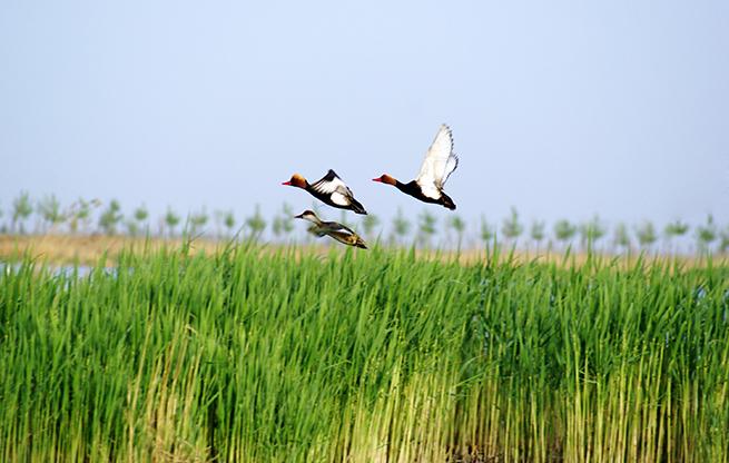 沙暖湖清 百鳥爭鳴 第七屆沙湖國際觀鳥節