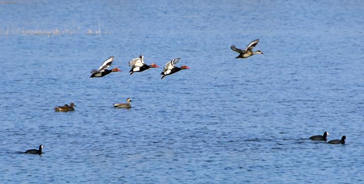 銀川:春湖水暖鳥先知