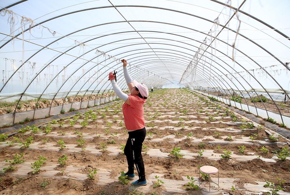 寧夏隆德:設施農業助力産業扶貧