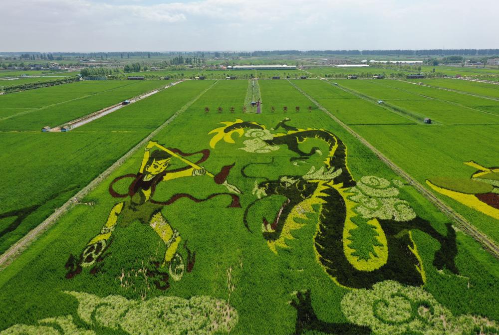 寧夏賀蘭:稻田畫引客來