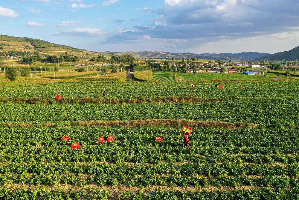 寧夏西吉:冷涼蔬菜産業助脫貧