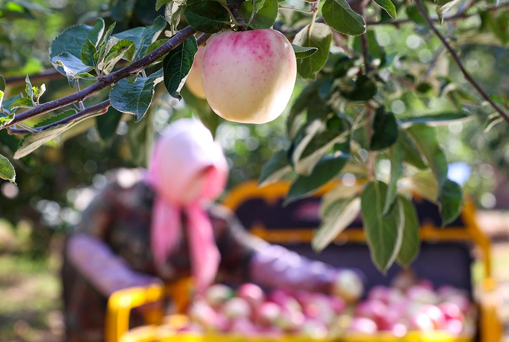 寧夏中衛:蘋果飄香採摘忙