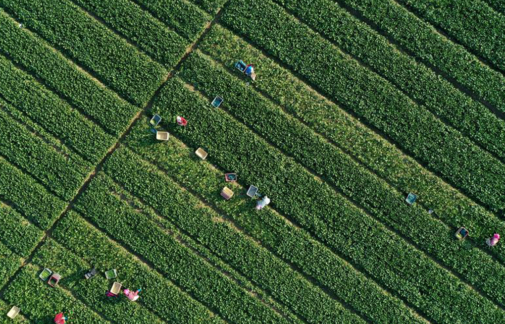 寧夏農墾:供港蔬菜迎豐收