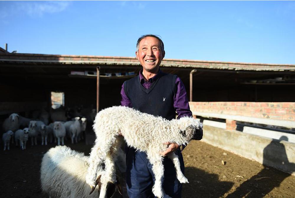 寧夏鹽池:加速灘羊産業現代化轉型